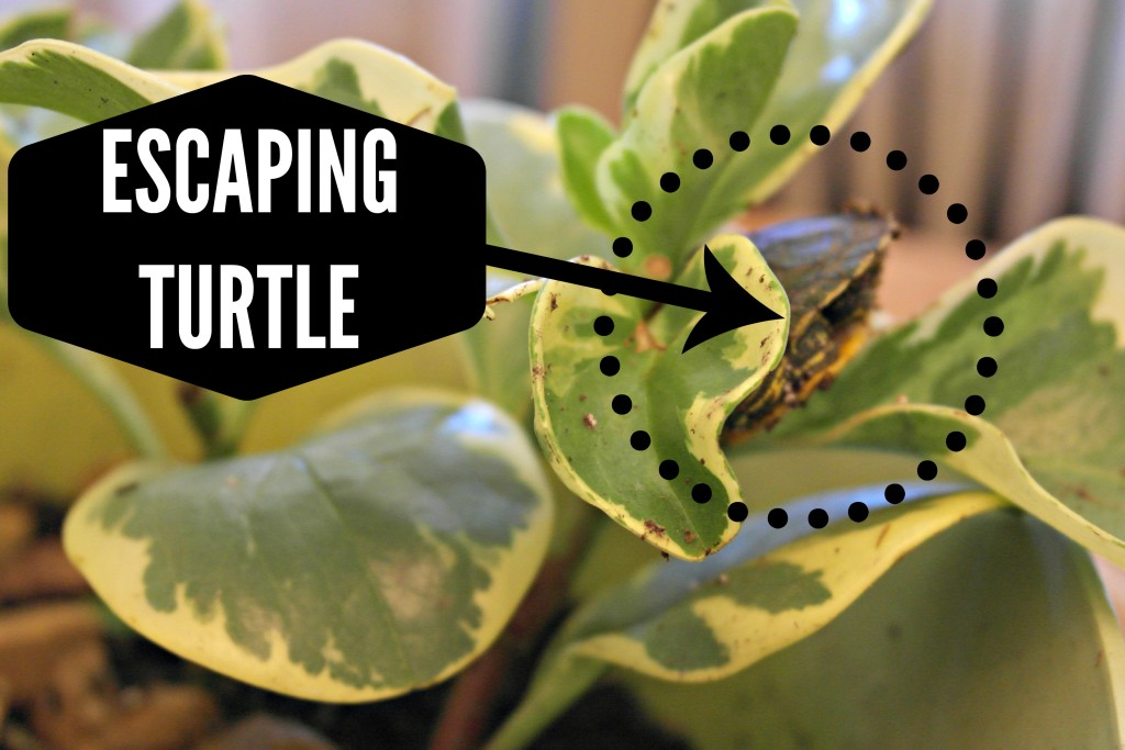 escaping turtle
