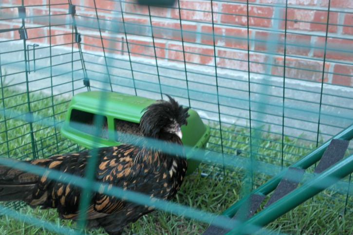 Meet the Girls in their Eglu Go UP Chicken Coop