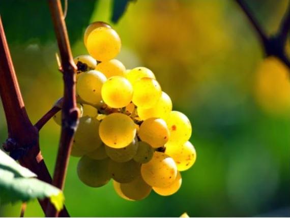 Choose Italian Pinot Grigio As Your Go-To White