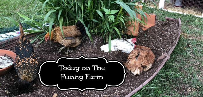 Today on the Funny Farm: Coop Cleaning