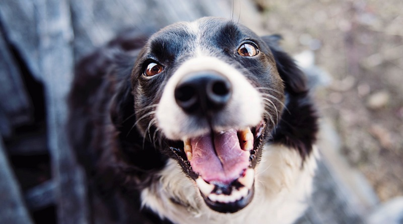 Happy Border Collie - How To Train a Dog Effectively