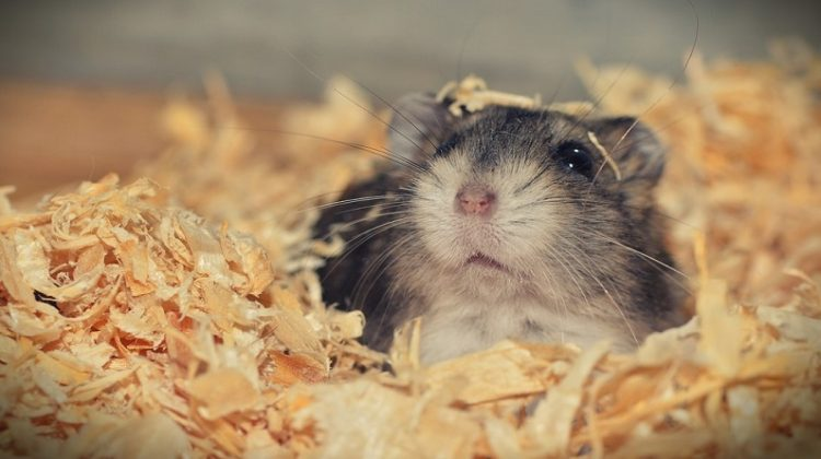 4 Things to Know about Owning a Hamster