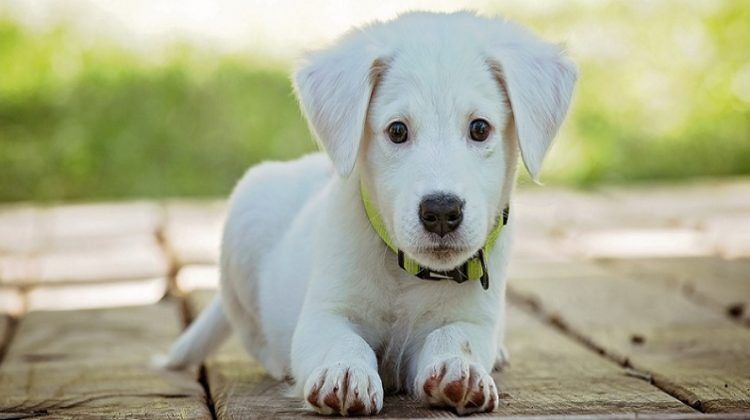 White Lab Puppy - Can You Have A Dog When You Work Full-Time?