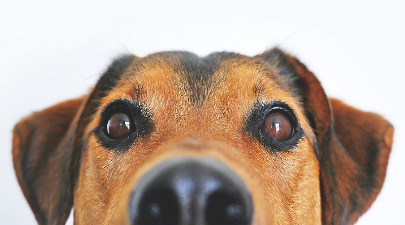 Brown Dogs Face - 5 Things to Consider Before Getting a Dog