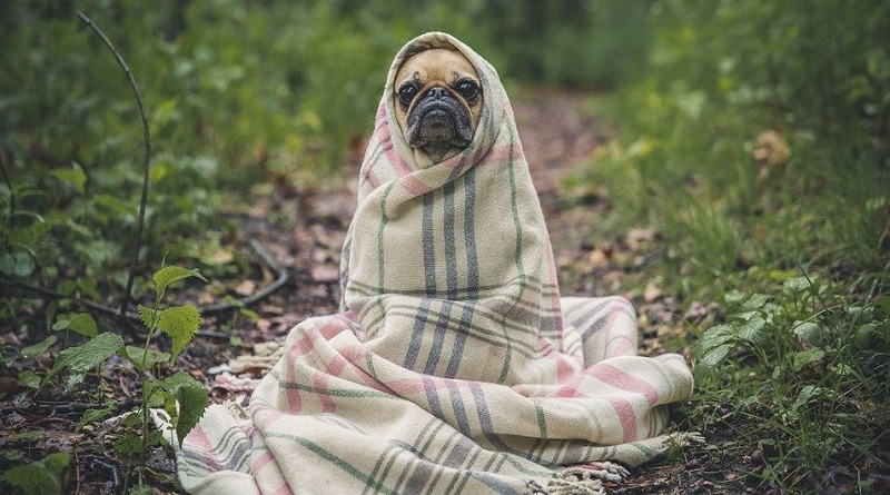 Pug Wrapped in a Blanket - 4 Mistakes That New Dog Owners Make