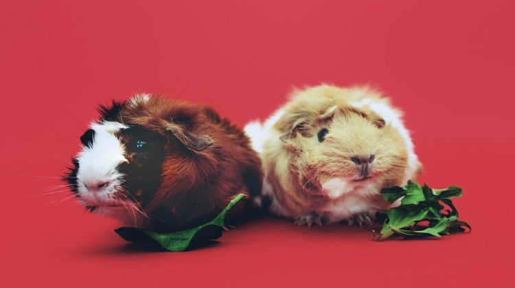 Guinea Pigs - Getting A Pet? Think Outside The Box