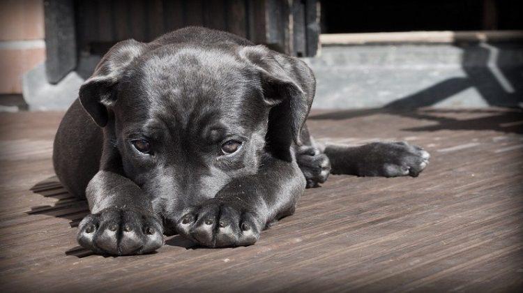 Lab Puppy -