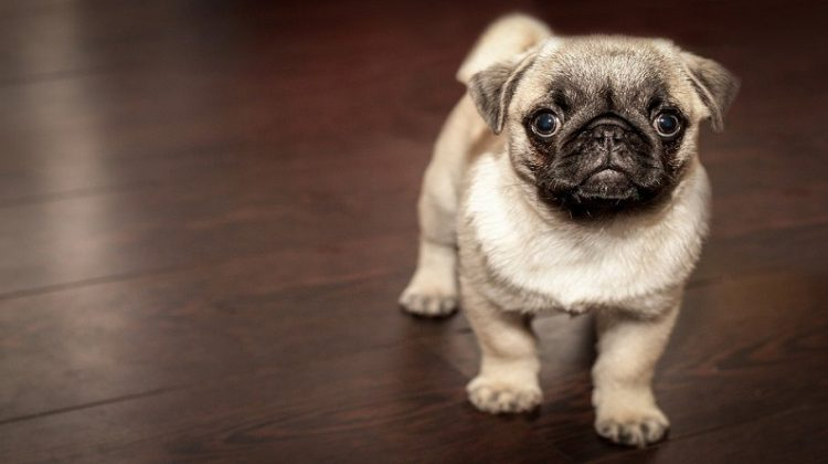 Pug Puppy - Dog Owner Errors