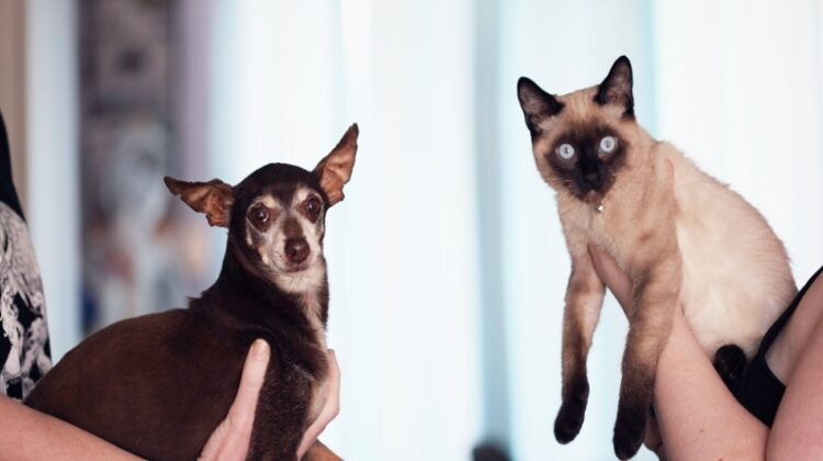 Chihuahua and Siamese - Cat and Dog