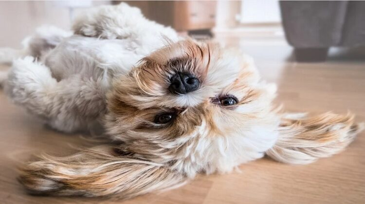 Small dog laying on it's back on a wood floor - Home Decor Features Every Pet Lover Needs
