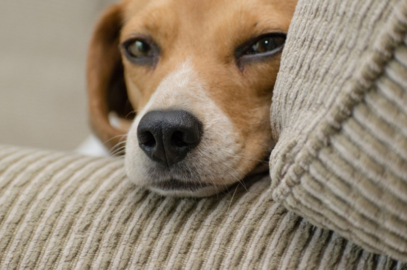 Dog on Sofa - Can You Get A Pet With A Busy Lifestyle