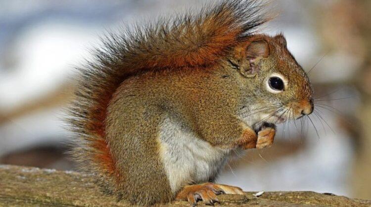 Squirrel Squirrels: The Unexpected Pest