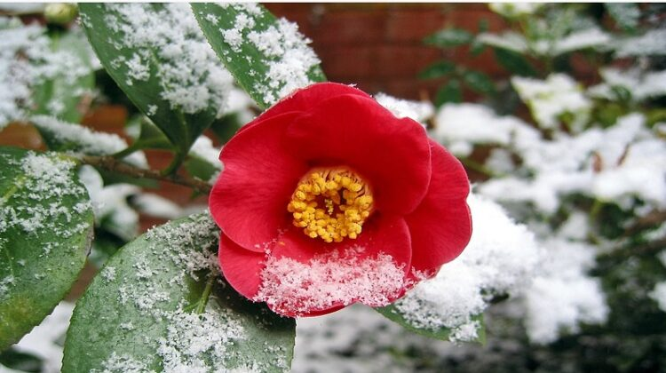 Garden That You Can Enjoy All Year Round Bright red flower dusted with snow
