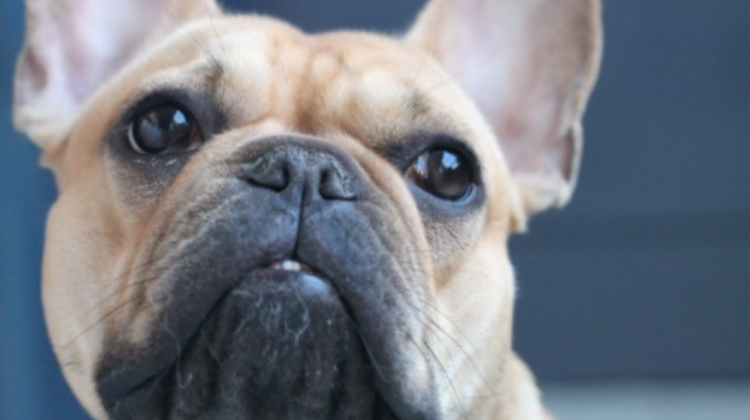 Why Has My Dog Got Bad Breath? French Bulldog