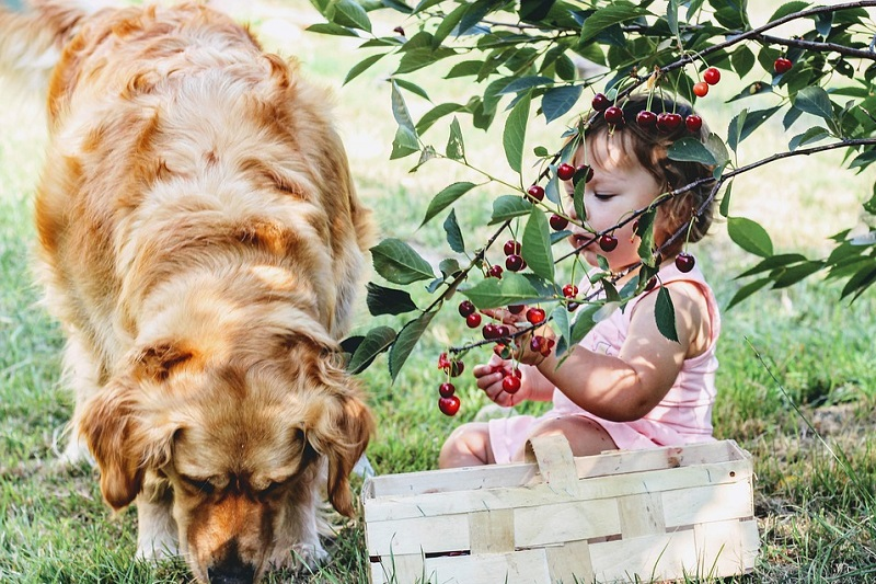 Bringing Home A Pet Little Girl picking cherries with a golden retriever by her side