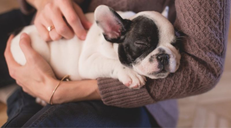 Bringing Home A Pet Woman holding Boston Terrier puppy in her lap