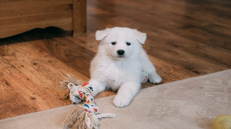 Puppy-Proof Your Home Fluffy White Puppy on Floor with Chew Toy