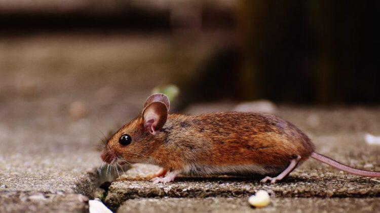 Rat Infestation Rat on concrete