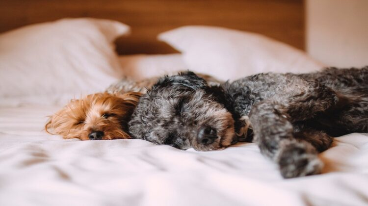 Making Your Home More Pet-Friendly Two terrior dogs sleeping side by side on bed
