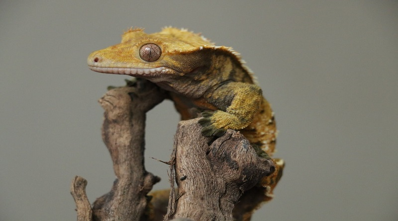 Why are Dubia Roaches the Best Crested Gecko Food? Crested Gecko