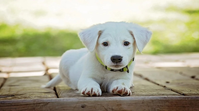 Good Start with Your New Puppy White puppy with green collar