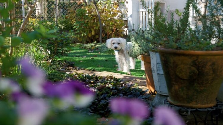 White dog in back yard garden