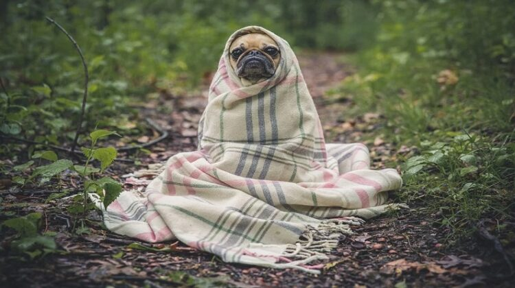 Owning a Pet in 2021 pug in the woods wrapped up in a blanket