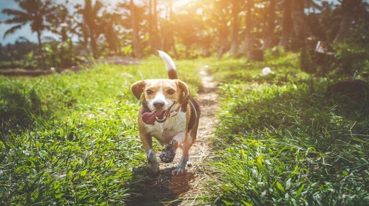 Dog-Friendly Home Improvement Ideas Happy Beagle walking along trail through grass