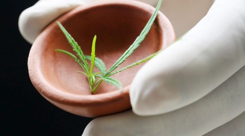 Cannabis Rosin Gloved hand holding a small dish with marijuana leaves