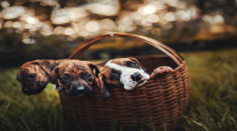 Choose The Right Dog Breed Puppies in a Basket