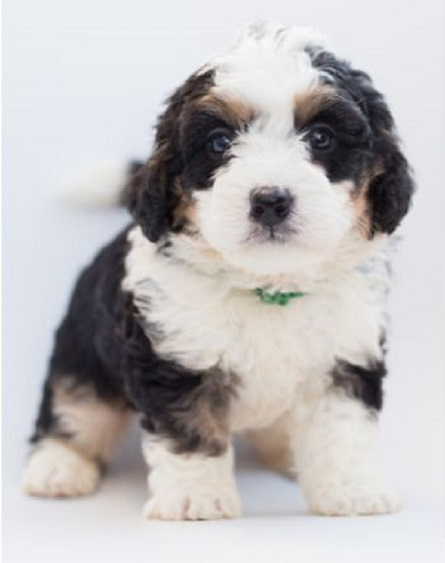 Bernedoodle Puppy Say Yes To The Pet