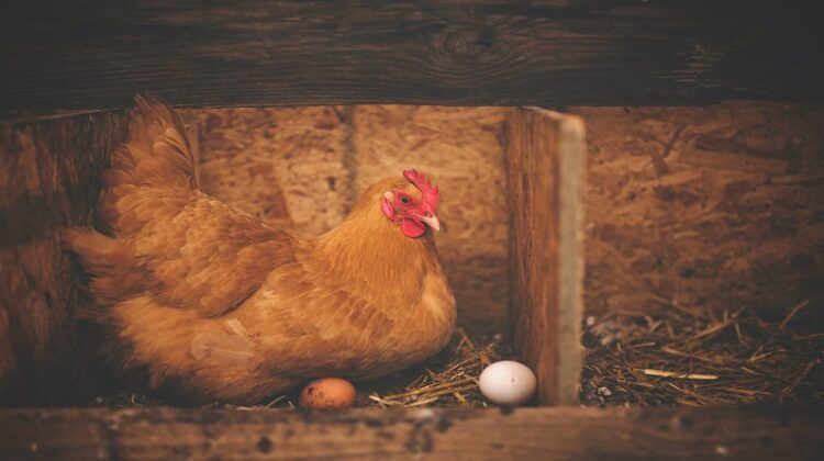 Chicken in Nesting Box with eggs